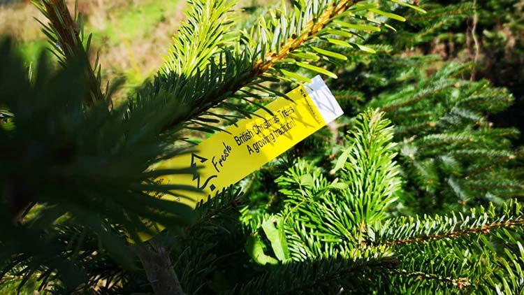 Sholach-Christmas-Trees-Blairgowrie